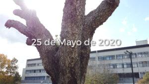 Foto del alcornoque que se necuentra en el predio de la Facultad